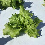 もうすぐ冬野菜登場です