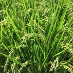 お米たくましく成長中