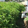 王様野菜モロヘイヤ収穫中です