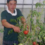 トマト収穫中です