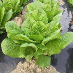超新鮮サラダ野菜