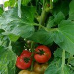 トマトの収穫始まりました