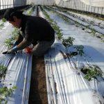 トマト植えてます