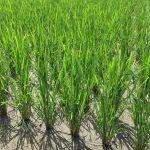 無農薬米成長中