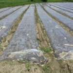 太陽の熱で土を消毒