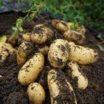 ジャガイモ収穫してます